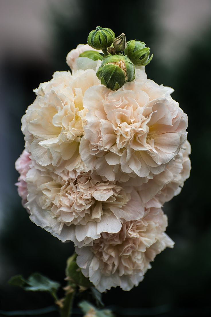 best images about flowers on pinterest tree peony spring and