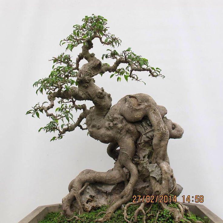 Los bonsais hermosos ... podrían ser un olmo chino o un Ficus cualquiera uno ... Raíz sobre roca. Ficus es el más fácil de hacer este estilo.