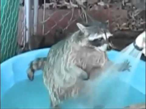 Енот моется в умывальнике
