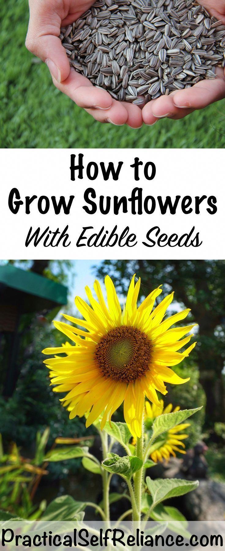 How To Grow Sunflowers For Seeds Grow Edible Sunflower Seeds Howtogardening Growing Sunflowers Planting Sunflowers Growing Vegetables