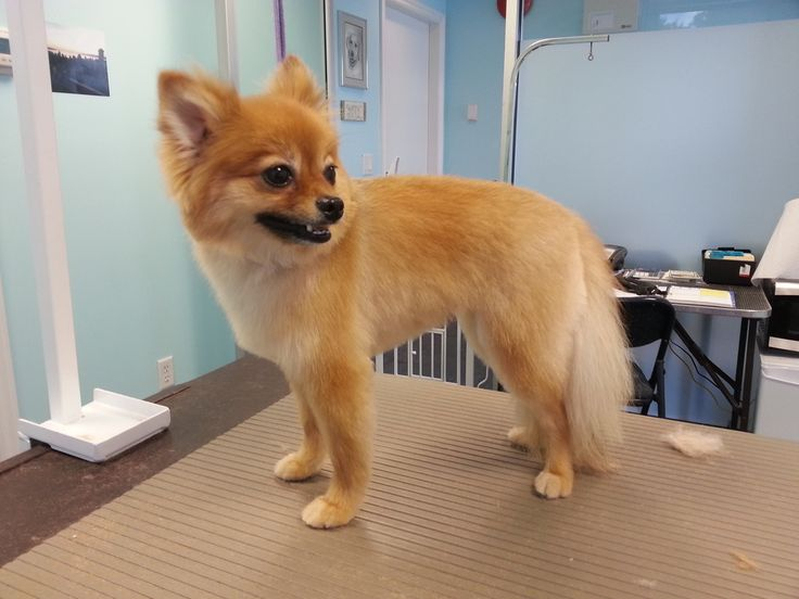 pomeranian haircut style the 25 best pomeranian haircut ideas on pinterest 4212