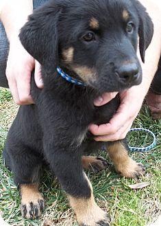 North Richland Hills, TX - Rottweiler/Siberian Husky Mix. Meet Puppies, a puppy for adoption. http://www.adoptapet.com/pet/12558188-north-richland-hills-texas-rottweiler-mix