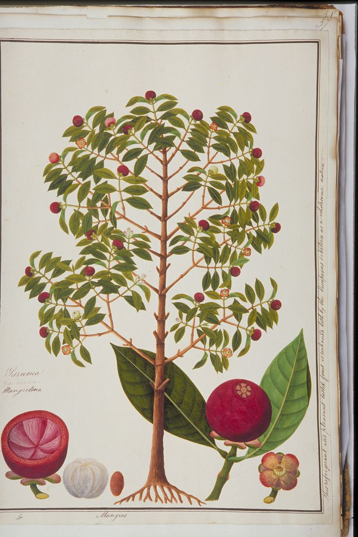 Mangosteen, William Farquhar Collection of Natural History Drawings, 1803-1818, Watercolour on Paper, Collection of National Museum of Singapore, Gift of Mr. G.K. Goh.