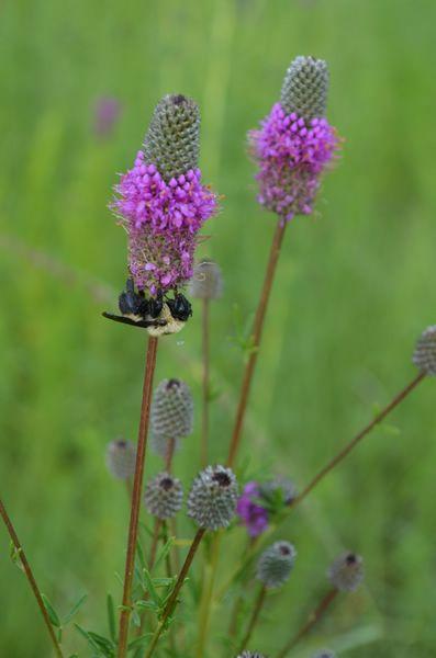 17 best Prairie Gardens images on Pinterest | Prairie garden, Garden ...