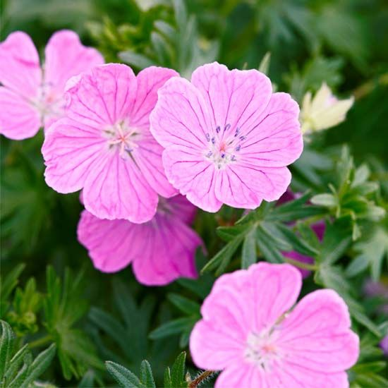 Perennial Geranium - look for varieties that bloom spring thru summer and have fall color; great groundcover for clay soils