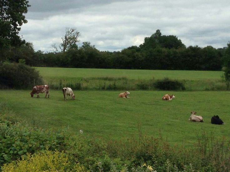 Cows on a summer's day. Boorley Green, England © Amy Sharpe