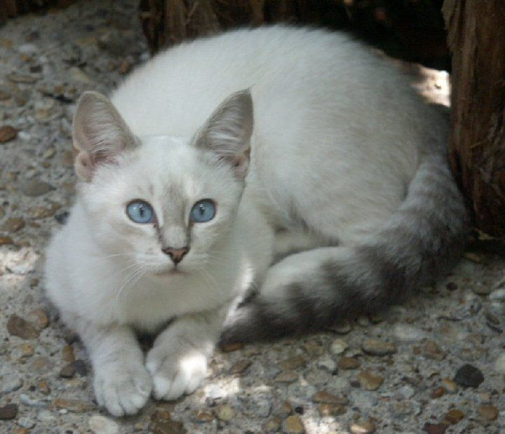 Grey Cat With Black Rings On Tail
