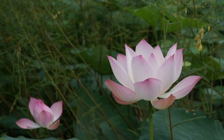 pflanzen-nach-feng-shui-haus-lotus-blume-rosa-natuerlich