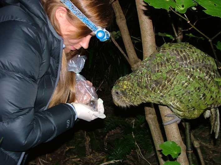 Sirocco helping to monitor a Maud Island frog