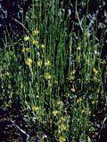 Ephedra viridis (Mormon tea) | NPIN