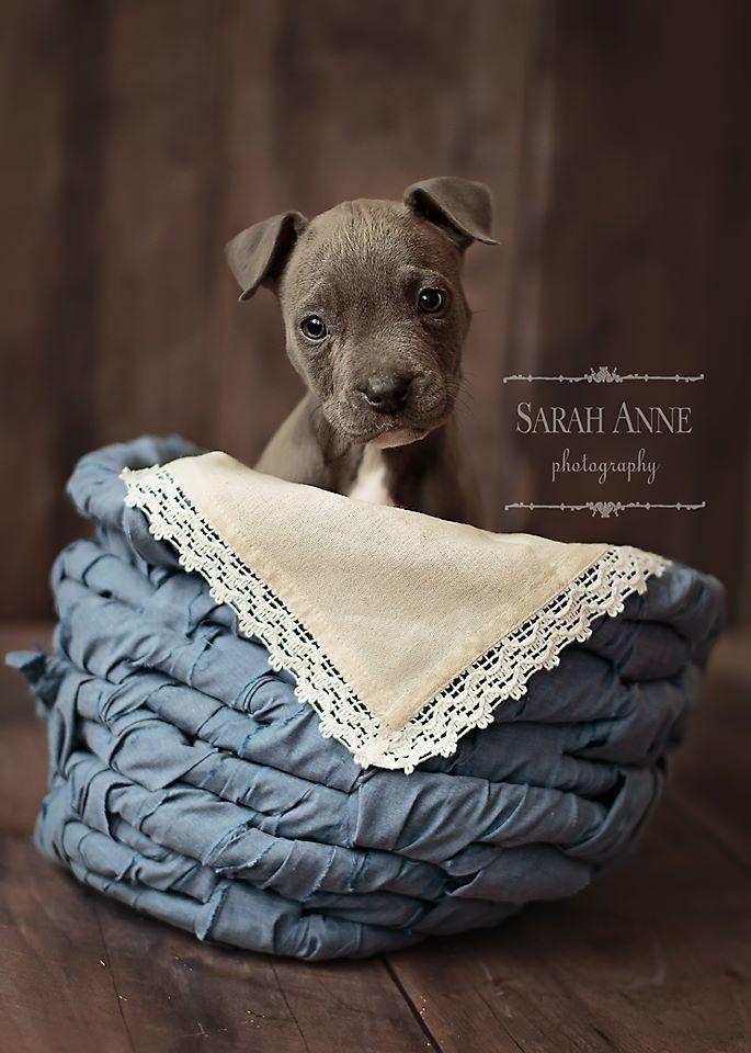 Blue pit bull pup. Newborn puppy photos. Sarah Anne Photography: Cincinnati photographer