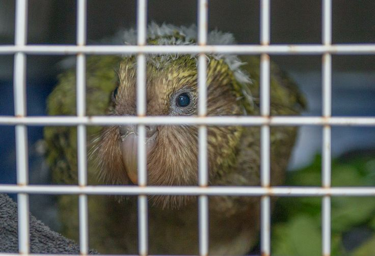 HeatherOne, a baby kākāpō chick, flew to Invercargill with us today to join 2 other chicks at the Department of Conservation's kākāpō rearing unit. #AirNZPreciousPax