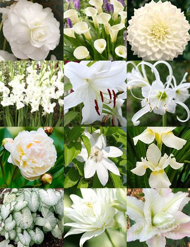 Moonlight Garden of Summer Blooms with 55 bulbs and roots