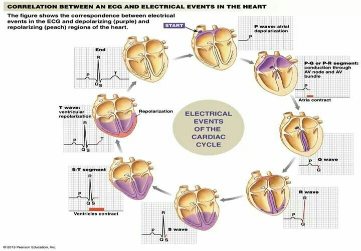 Electrical events of the cardiac cycle | Cardiology ...