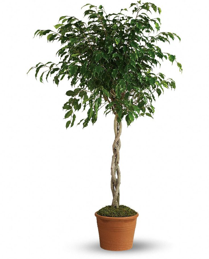 Weeping Fig Tree - Weeping fig is one of the best plants for improving air quality indoors. It has one of the top removal rates of toxins like formaldehyde, benzene and trichloroethylene from tainted indoor air.
