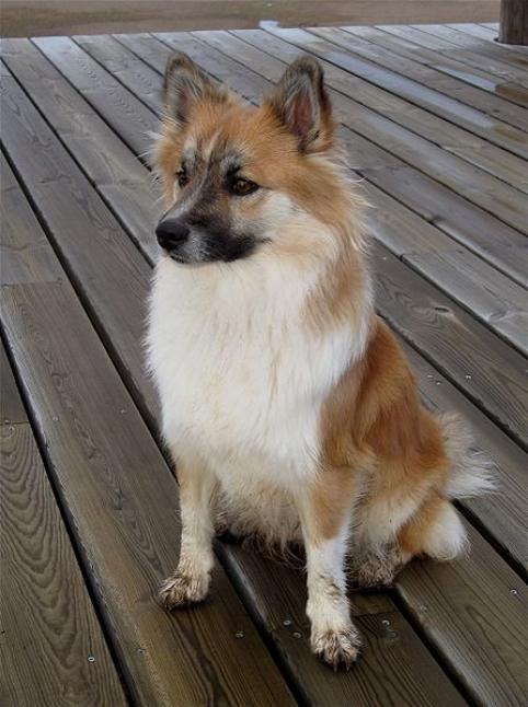 Icelandic sheepdog brought to Iceland by Vikings. <3 <3 <3