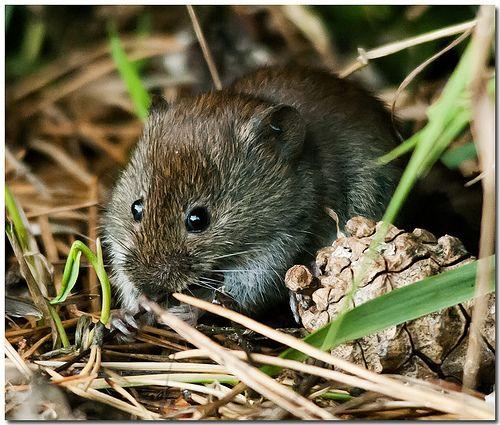 Zambales Shrew Rat 17 Best images ...