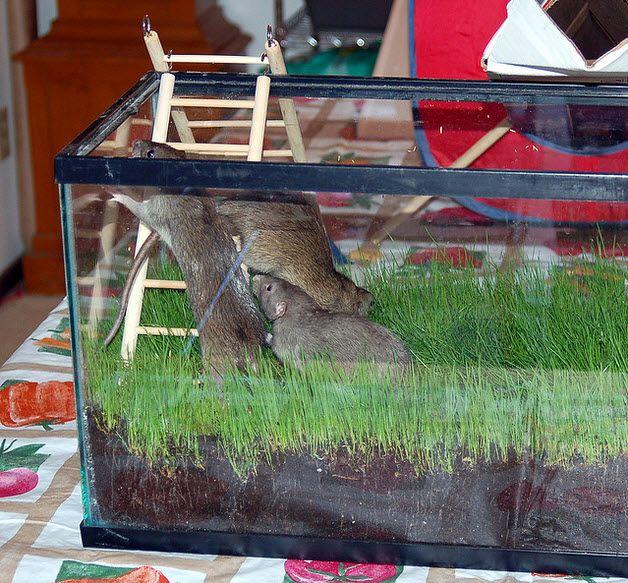 Aquarium Tank Rat Garden - PetDIYs.com | DIY RAT TOYS AND ...