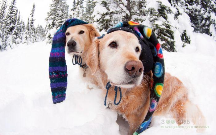 Золотистые ретриверы в вязанных шапочках в зимнем лесу, фото фотография картинка обои
