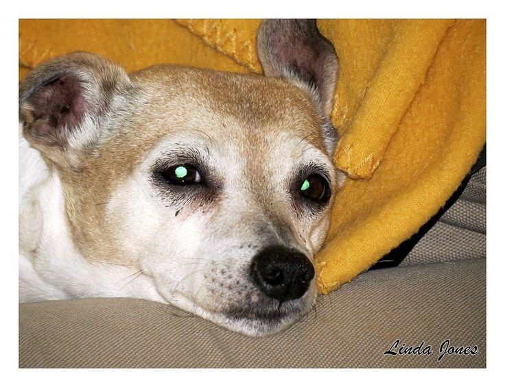 Melissa Jack russell dog.