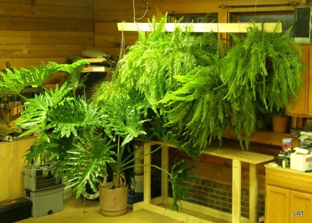 Save Those Boston Ferns During The Winter Months