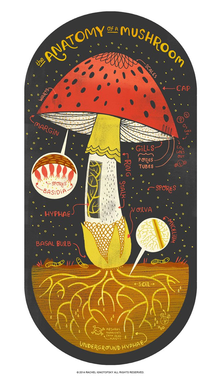 The anatomy of a mushroom. I love drawing mushrooms,  I love mushrooms in my food, and I love mushrooms puns. There is a fungus among us and it needs a good home! Pick one up at my store at: https://www.etsy.com/listing/184245232/the-anatomy-of-a-mushroom-art-print