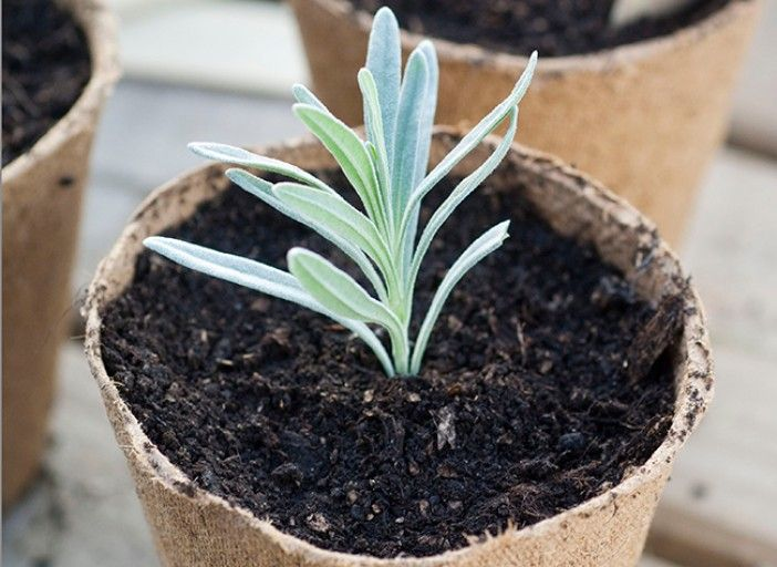Les 25 meilleures id es de la cat gorie fleurs de lavande sur pinterest faire s cher de la - Quand planter la lavande ...