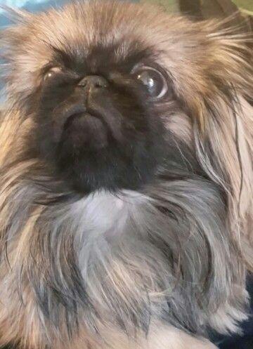 Pechinese nano#dog#bellissima
