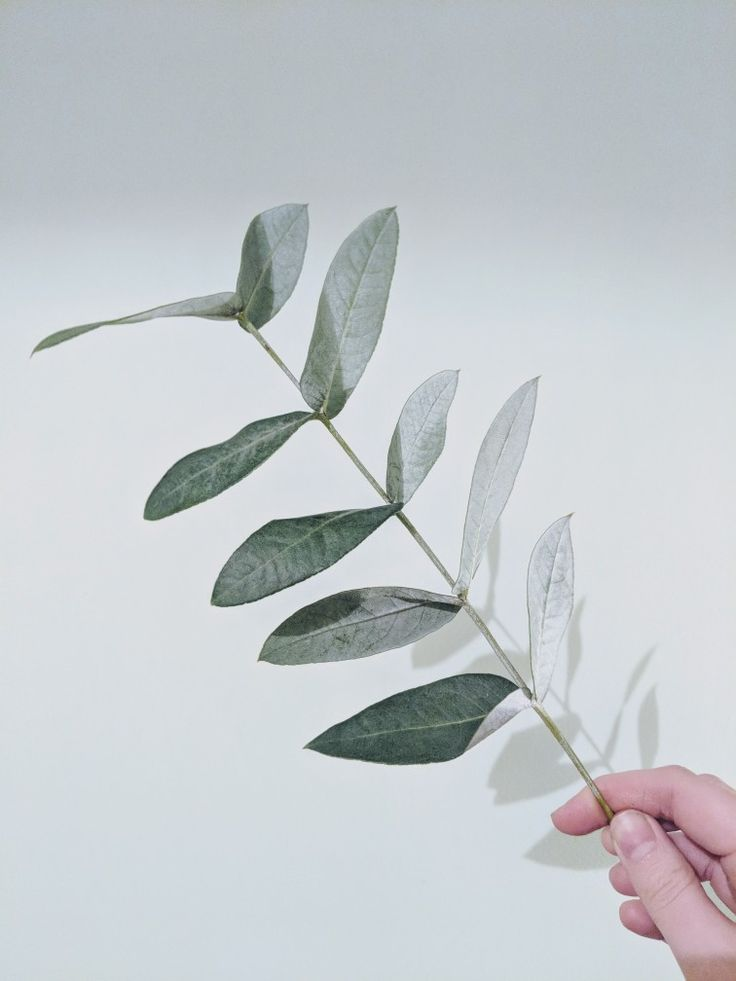 Eucalyptus Robusta from Blossom & Tied