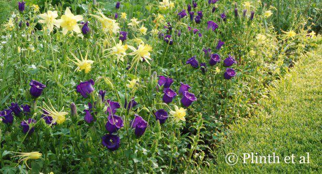Aquilegia chrysantha 'Denver Gold' and the rich regal purples of Campanula medium (Canterbury bells)