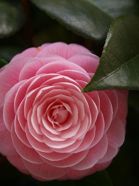 Camellia japonica var decumbens cv Otometsubaki 'Maiden pink'