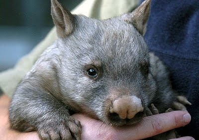 The Australian Northern Hairy-nosed wombat. Critically endangered.