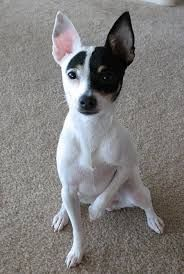 Image result for toy fox terrier puppies