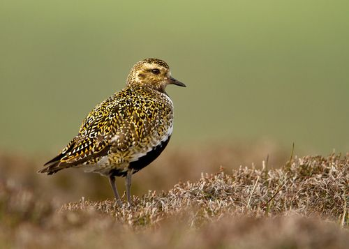 """Golden Plover"" by Dalia Kvedaraite   This species is similar to two other golden plovers; American Golden Plover and Pacific Golden Plover,  which are both smaller, slimmer, and relatively longer-legged than European Golden Plover, and both have grey rather than white axillary feathers (only properly visible in flight)."