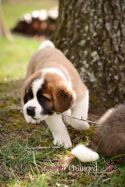 Breeding Saint Bernard's is a big monetary commitment; I have to make sure I can afford the money, the heartbreak, and the health considerations I need to make in breeding a big healthy Saint Bernard. Every thing about Saint Bernard's is Big including the Coast. To start with one has to gather as much information about the breed as possible like: The Saint Bernard Standard, The Saint Bernard Fancier, Saint Bernard Breed Clubs, Dog shows and other breeders, AKC Gazette