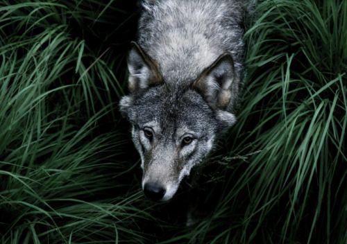 #wolf #grass