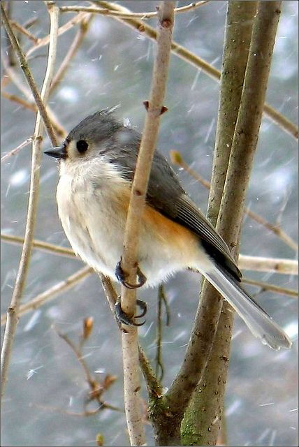 Titmouse in the snow