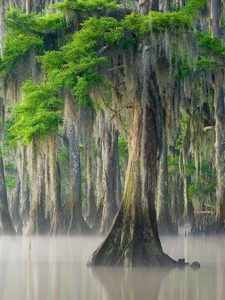 Cipreses cubiertos de musgo español en Louisiana . Este es el hábitat principal para la Curruca