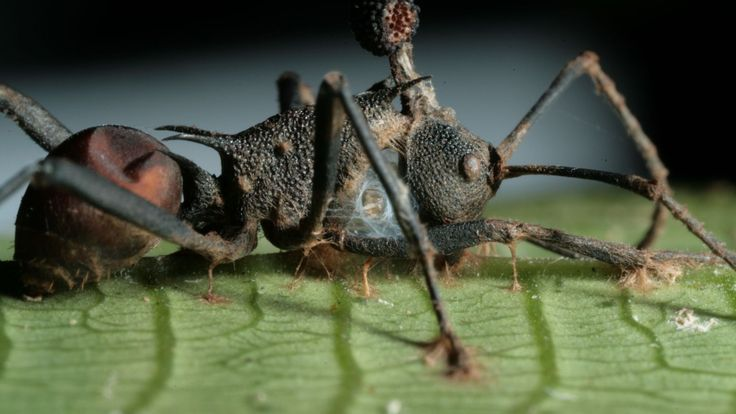 """Zombi Carpenter ants of the Brazilian rain forest have it rough. When one of these insects gets infected by a certain fungus, it turns into a so-called """"zombie ant"""" and is no longer in control of its actions. Manipulated by the parasite, an infected ant will leave the cozy confines of its arboreal home and head to the forest floor—an area more suitable for fungal growth."""