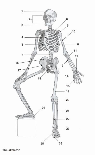 50 Appendicular Skeleton Worksheet Answers in 2020