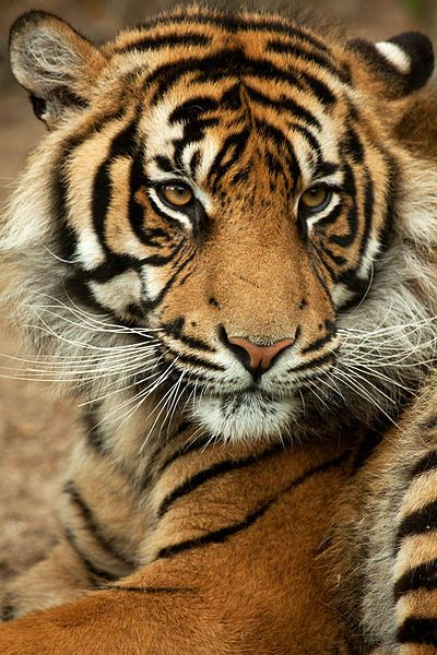 """Des animaux en voie de disparition """"Le tigre de Sumatra est certainement le plus représentatif du danger d'extinction qui menace ces gros félins. Une population en déclin, un nombre d'individus très faible (moins de 700) : voilà un exemple concret de la fragilité des carnivores, qui sont les premiers témoins visibles de la dégradation des espace naturels"""""""