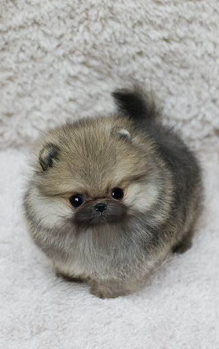 pomeranian puppy                                                                                                                                                                                 More