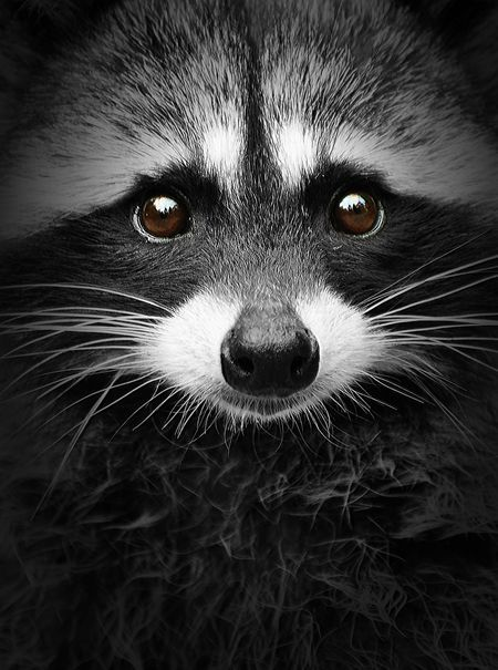 raccoon personals It turns out germany is overrun with raccoons the rest of europe, worried they'll be next, is now scrambling to solve their burgeoning raccoon problem the issue of raccoon overpopulation has a strange history, dating back to the 1920s  germans in particular were importing raccoons from america to .