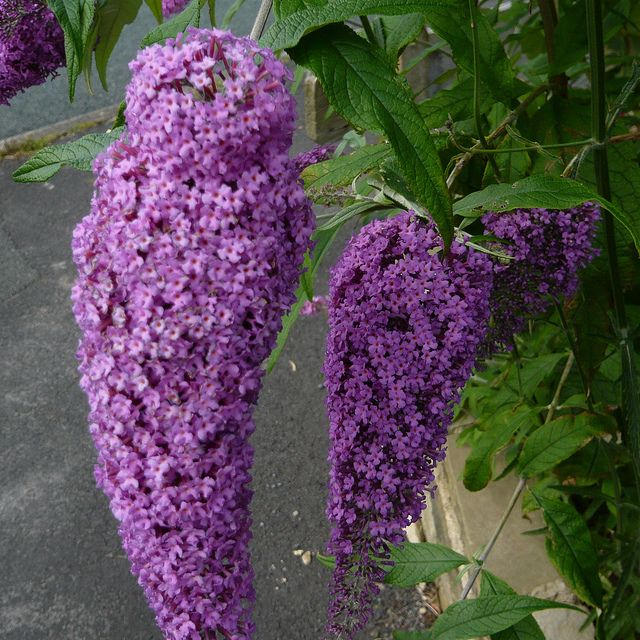 """Tips for growing Buddleia Butterfly Bushes - blooms June through fall, grows to 6 ft., full sun. Prune to 12"""" in spring"""
