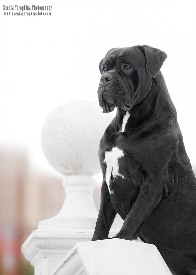 Pin By Veronaway2 On American Staffordshire Terrier Pitbull And Other Dogs Cane Corso Cane Corso Dog Corso Dog