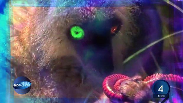 """Auf Madagaskar gibt eine Halbaffenart, den Mohrenmaki. Diese putzigen Kerle schnappen sich gierig jeden Tausendfüßer, den sie kriegen können. Sie verspeisen die Tausendfüßer dann aber nicht - sie kneten ihn lediglich. Das schadet dem Tier nicht, aber er versprüht zur Abwehr ein Zyanid haltiges Gift, das sich die Affen ins Fell reiben, um damit Parasiten wie Mücken und Milben zu töten. Außerdem beschert dieses Gift beschert den Mohrenmakis den einzigartigen Moment des """"Draufseins""""."""
