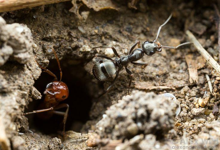 Na entrada de uma colônia de formigas sequestradoras  Polyergus mexicanus, uma formiga trabalhadora Formica subsericea carrega solo escavado a partir do ninho. As formigas parasitas de Polyergus mexicanus não realizam esse tipos de tarefas. Urbana, Illinois, USA.