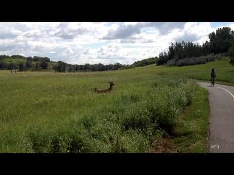 A Doe and her fawn were out for a stroll on holiday Monday, good for kids to get out in the park and stop playing reindeer games all day for a change. http://BigRockies.com