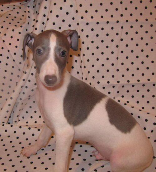 Italian Greyhound: Festus Boy!!