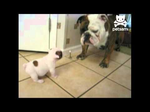 Watch This Cute Bulldog Puppy Bark At Her Mom. What Happens Next Is Hysterical.